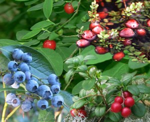 Vaccinium, also known as epigynous or false berries, because they fruit below the ovaries; Blueberries, cranberries, cowberries (from which vaccinium get their name)